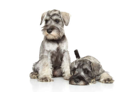 miniature breed: Cachorros schnauzer miniatura posando sobre un fondo blanco Foto de archivo