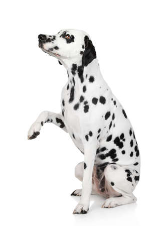 gives: Dalmatian dog gives paw. Side view, portrait on white background