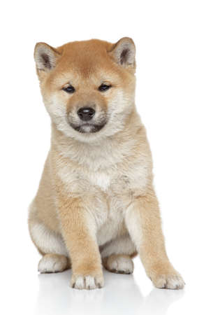 Shiba inu puppy portrait, isolated on white background photo