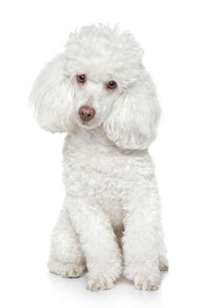 Caniche de juguete blanco se sienta en el fondo blanco