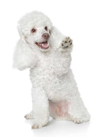Caniche de juguete blanco que da una pata en el fondo blanco Foto de archivo