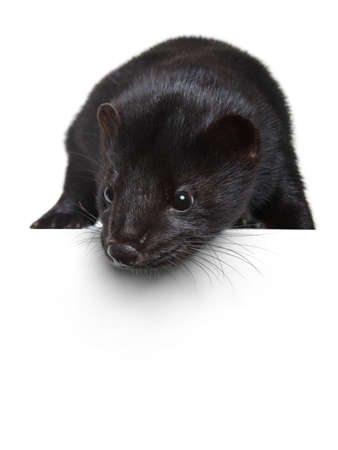 Black American mink lying on a white banner
