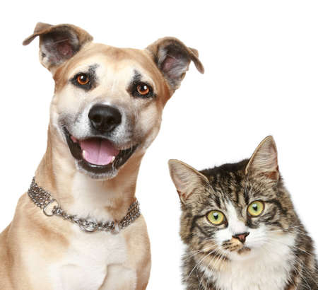 amstaff: Staffordshire terrier puppy and a gray cat. Close-up portrait on a white background Stock Photo