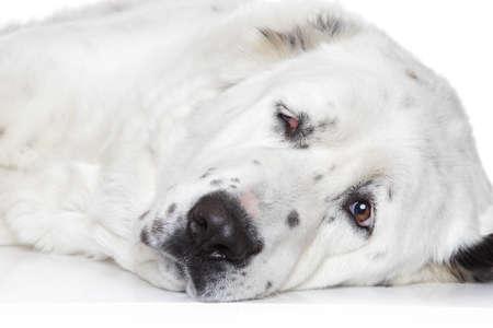 alabai: Central Asian Shepherd Dog closeup portrait on a white background Stock Photo