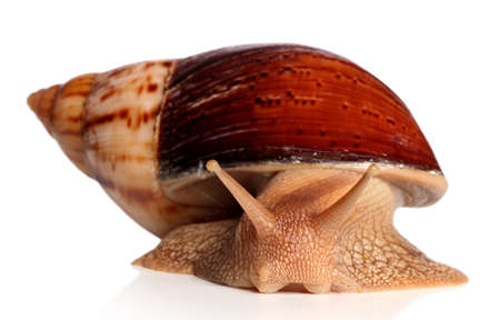 hermaphrodite: Giant African snail Achatina fulica posing on a white background