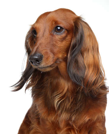 longhaired: Brown Dachshund puppy. Portrait on a white background