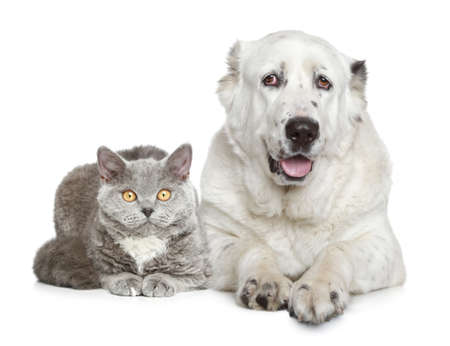 alabai: Central Asian Shepherd Dog and beautiful cat lying on a white background