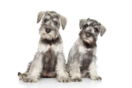 whelp: Miniature schnauzer puppies posing on a white background