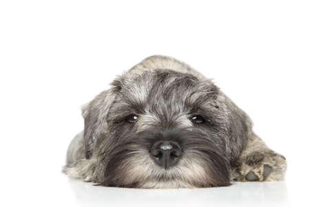 miniature breed: Cachorro schnauzer miniatura. Retrato de primer plano sobre un fondo blanco