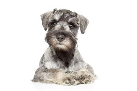 miniature breed: Cachorros Schnauzer miniatura en el fondo blanco