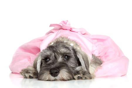 miniature breed: Cachorro schnauzer miniatura con un vestido rosa