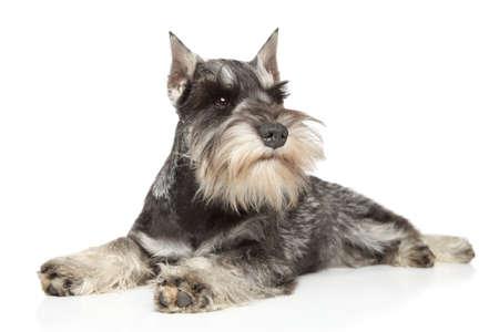 miniature breed: Schnauzer miniatura mentir sobre fondo blanco