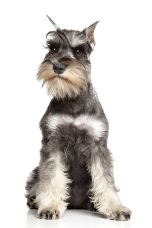 Miniature schnauzer sits on white background
