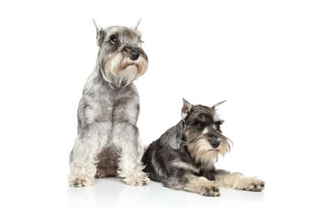 miniature breed: Dos schnauzer miniatura situada sobre un fondo blanco Foto de archivo