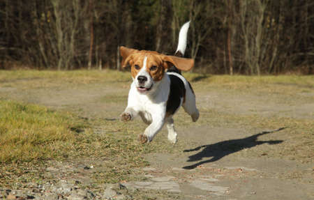beagle puppy: Happy Beagle dog running in autumn park