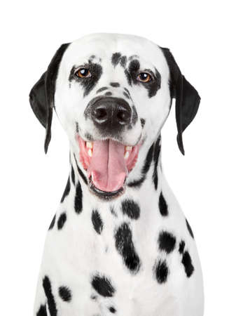 spotty: Portrait of a smiling Dalmatian on isolated white background Stock Photo