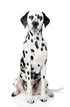 dalmatian: Dalmatian dog. Portrait on white background