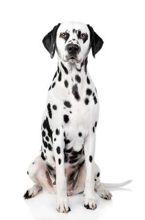 bitch: Perro d�lmata. Retrato en el fondo blanco Foto de archivo