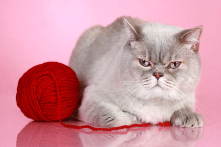 british shorthair: Dissatisfied British cat on lying with ball of yarn on a pink background