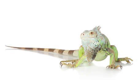 Green Iguana portrait on a white background photo