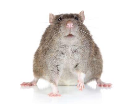 뚱뚱한 쥐 흰색 배경에 앉아