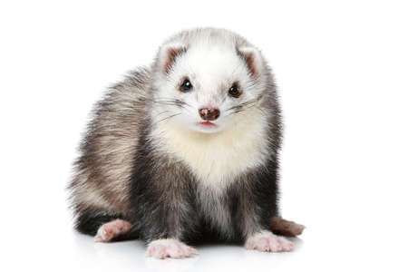 hunter playful: Ferret on a white background (front view) Stock Photo