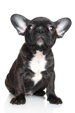 francais: Black French bulldog puppy sits and look up on a white background. Shallow DOF