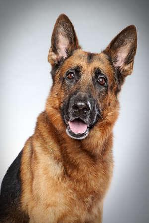 灰色の背景のジャーマン ・ シェパード犬の肖像画 写真素材