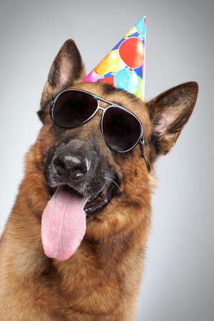 pink hat: German shepherd in party cone and dark sunglasses on grey background (funny series)