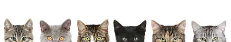 purebred cat: Cats half heads on a white background Stock Photo