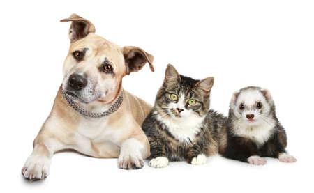 흰색 배경에 스 태 포드 셔 테리어 고양이와 흰 족제비 트리오 스톡 콘텐츠