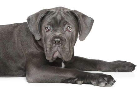 cane corso: Cane-corso dog puppy lying on a white background Stock Photo