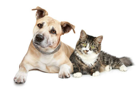 housecat: Staffordshire terrier puppy and a cat. Portrait on a white background