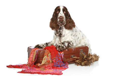 hunter playful: English Springer Spaniel with old suitcase on a white background Stock Photo