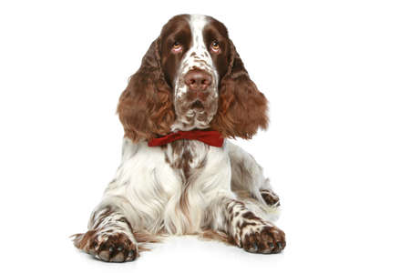 hunter playful: English Springer Spaniel with red bow lying on a white background