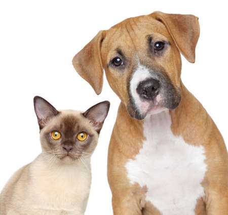 purebred cat: Burmese cat and Staffordshire Terrier portrait on white background