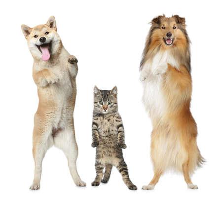 셰틀 랜드 제도 몰이는, 시바 INU과 회색 고양이 흰색 배경에 뒷 다리에 서 스톡 콘텐츠