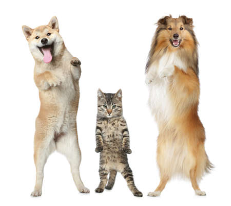 Shetland sheepdog, Shiba-inu and grey cat stand on hind legs on a white background Stock Photo