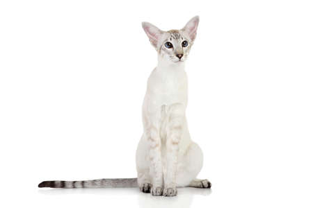 oriental white cat: Oriental Blue-point siamese cat sits on a white background