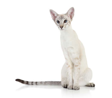 blue siamese cat: Oriental Blue-point siamese cat on white background Stock Photo