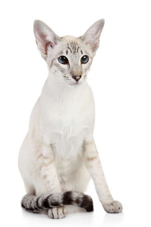 Siamese Blue-point cat sits on a white background photo