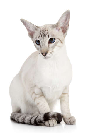 Siamese Blue-point cat sits on a white background 免版税图像