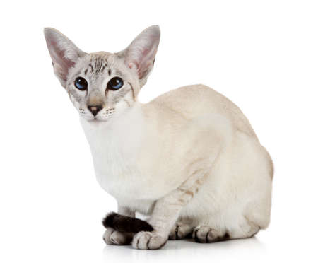 Oriental blue point cat on white background photo
