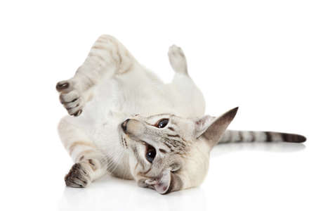 Oriental blue-point cat resting on white background photo