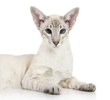 oriental white cat: Oriental Blue-point siamese cat lying on a white background