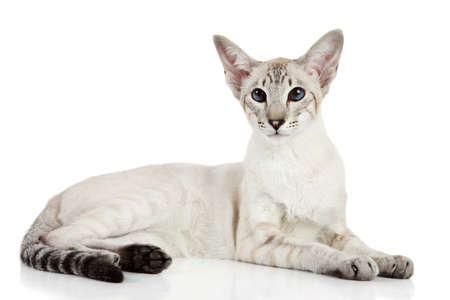 siamese: Oriental blue-point cat lying on white background