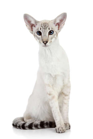 siamese cats: Oriental Blue-point siamese cat on white background Stock Photo