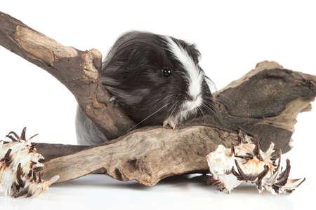 snag: Guinea pig in studio on snag