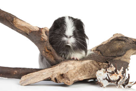 snag: Guinea pig in studio on snag