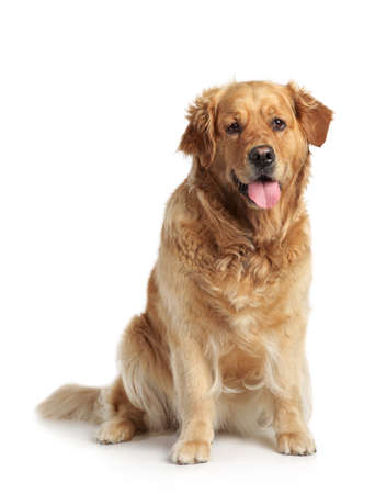Golden Retriever sits on a white background